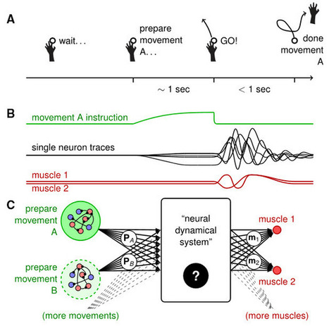 Not as random as thought: Modeling how neurons work together to perform complex movements | WWWBiology | Scoop.it
