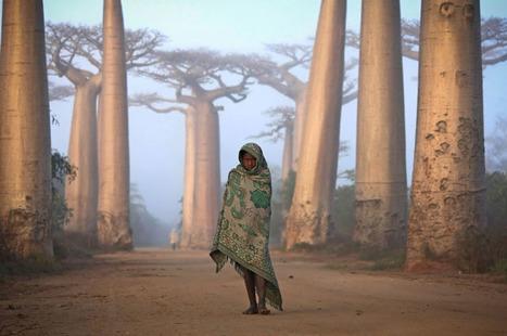 Bosque de baobabs en Madagascar by Ken Thorne | Favorite pictures | Scoop.it