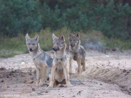 Le loup est aux portes de Berlin   Sociétés & Environnements   Scoop.it