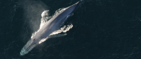 Provocation : Le Japon choisit le début de la COP21 pour reprendre la chasse à la baleine | Chronique d'un pays où il ne se passe rien... ou presque ! | Scoop.it
