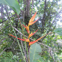 Pretty Bird of Paradise #Flower on the #farm in #CostaRica.  #Flowers #Travel - via @SustainablDylan   Look at what I am doing   Scoop.it