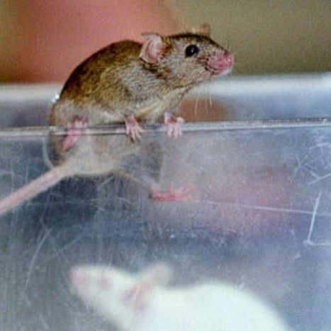 Scientists reverse ageing process in mice | Health News | Scoop.it