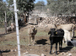 Preocupa robo de ganado en la región | Tipos de robo | Scoop.it