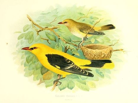 Recording of the week: Golden Oriole - British Library Sounds | A World of Sound | Scoop.it