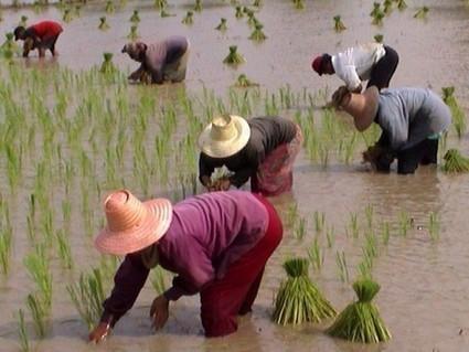 La Thaïlande vend 240000 tonnes de riz à la Côte d'Ivoire - Agence Ecofin | Thailande Info | Scoop.it