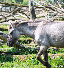 Amsterdam's wild side: ponies in the intentional rough graze somewhere beyond rhetoric and reality -- The Economist | The Jurga Report: Horse Health, Welfare, and Care | Scoop.it