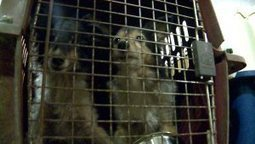 Animal Welfare League adjusts after removing animals from home - Fox 59 | Shetland Sheepdogs | Scoop.it