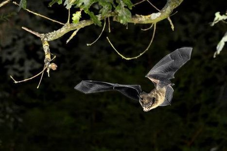 Climate Change Affects Ultrasonic Bat Signals For Better, Worse - National Geographic   Bat Biology and Ecology   Scoop.it