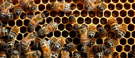 How to Start Urban Beekeeping - The Importance of Honey Bees | Money Crashers | CALS in the News | Scoop.it