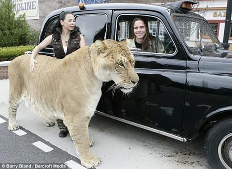 Imagine Cat Food Bill For Hercilues - Biggest Cat In The World | Funny Stuff | Scoop.it