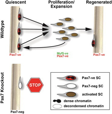 Cell Stem Cell - Myf5-Positive Satellite Cells Contribute to Pax7-Dependent Long-Term Maintenance of Adult Muscle Stem Cells | cancer | Scoop.it