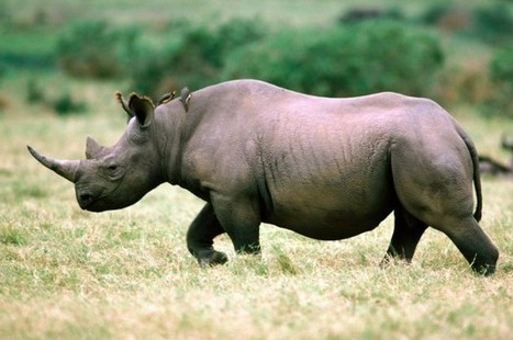 U.S. drones will protect rhinos by combating poachers | What's Happening to Africa's Rhino? | Scoop.it