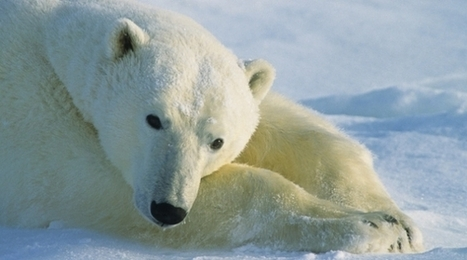 Polar Bear Facts & Information | Polar Bears International | Polar Bear | Scoop.it