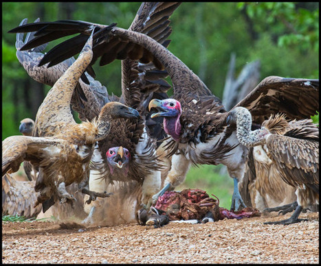 #Africa's Vultures Are Collapsing to #Extinction | Messenger for mother Earth | Scoop.it