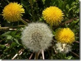 Dandelion - the easy-to-identify (and find) edible plant | Brian's Science and Technology | Scoop.it