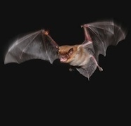 Foraging Bats Warn Others Away From Their Dinners | #WildlifeWatch | Scoop.it