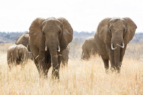 Condoms Filled with Chili Powder and Firecrackers Teach Elephants to Stay Away | Lorraine's Environmental Change &  Management | Scoop.it