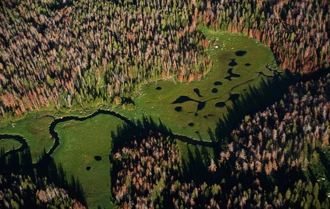 What Pine Beetles' Destruction of Wyoming Forests Signals for Our Climate Future | Silviculture and Forest News | Scoop.it