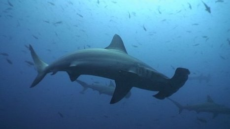 Save Sharks through Shark Tourism - Expat in Germany | Adventure Travel - Hang on Tight | Scoop.it