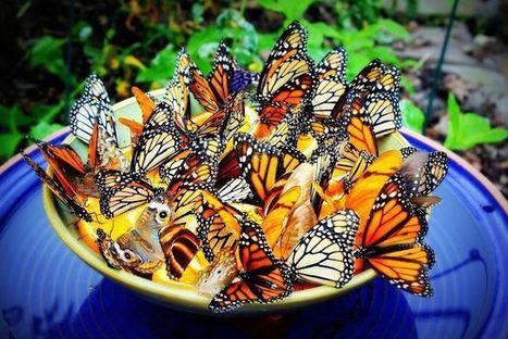 Divine Terre | Comment attirer les papillons dans votre jardin | Divine Terre, le journal des bonnes nouvelles | Scoop.it