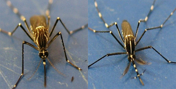Mosquitoes Looking for Love in All the Wrong Places, Sort it Out Eventually | Insect Information and Keys | Scoop.it