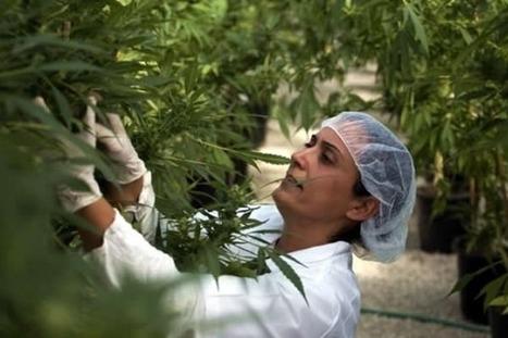 Israel produce marihuana que no te hace sentir drogado ... | thc barcelona | Scoop.it