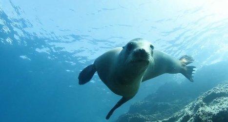 Vidéo plongée Full HD | Le ballet sous-marin des otaries ! | Plongeurs.TV | Scoop.it