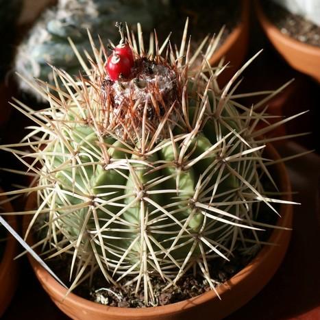 Photos gratuites et libres de droits de Cactus : Melocactus curvispinus - Melocactus guitartii   Cactus and Succulents : Photos de cactus et de plantes grasses gratuites et libres de droits   Scoop.it