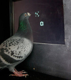 Turns Out, Pigeons Are Just As Good As Monkeys When It Comes To Math : NPR   Technology Transforming Learning   Scoop.it