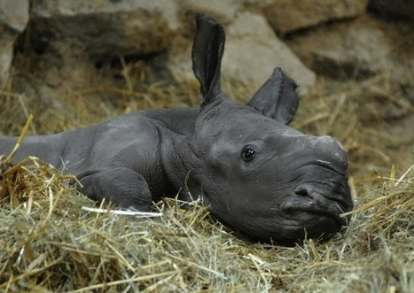 World Rhino Day 2014: Facts to Celebrate the Five Surviving Species | Kruger & African Wildlife | Scoop.it