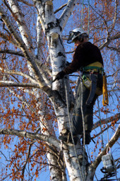 Capable tree service by Abrasive Tree Service, go with the real pro! | Abrasive Tree Service | Scoop.it