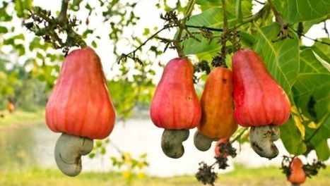 Thieves In California Target Cashews Imported From Africa | Permaculture, Horticulture, Homesteading, Bio-Remediation, & Green Tech | Scoop.it