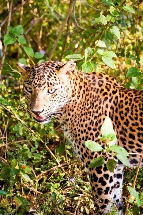 First Leopard Sighting in Sri Lanka | Southern Hemisphere | Scoop.it