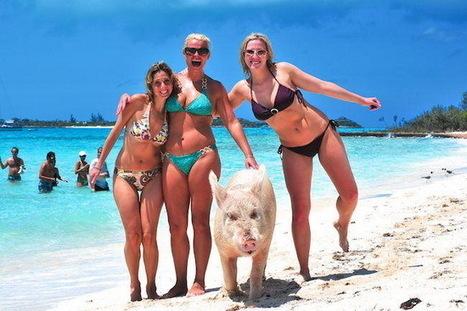 Des cochons vivent seuls sur une île aux Bahamas | Vegactu - végétarien, végétalien et végan | Scoop.it