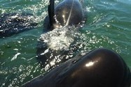 Whales stranded for second time at Golden Bay - National - NZ Herald News   Dolphins   Scoop.it