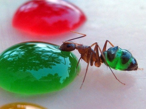 Transparent Ants Are Funny If They Eat 'Coloured 'Food' | Animals | Scoop.it
