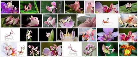 The orchid mantis is the first known predator to lure prey by mimicking a flower to pollinate | Amazing Science | Scoop.it