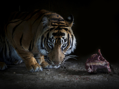 Tiger Conservation is an Issue - The Earth Times | Conservation, Ecology, Environment and Green News | Scoop.it