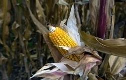 Monsanto teste de nouveau du blé OGM aux Etats-Unis | Biodiversity protection | Scoop.it