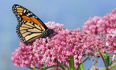 The Beautiful Reason You Should Plant Milkweed | Healing our planet | Scoop.it