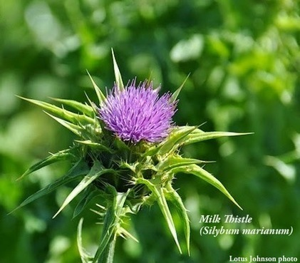 Fran Jurga`s Hoof Blog: Laminitis Research: Milk Thistle Tested in Laboratory for Possible Endotoxin Neutralization | Hoofcare and Lameness | Scoop.it