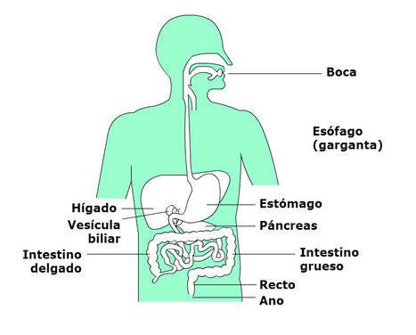 Cómo hacemos la digestión (Aplicativo) | Profesión Palabra: oratoria, guión, producción... | Scoop.it