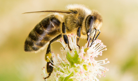 Bee Economy: Honey, Mites and Diesel Drive Pollination Fees | NCSU Abstract | Colony Collapse disorder | Scoop.it