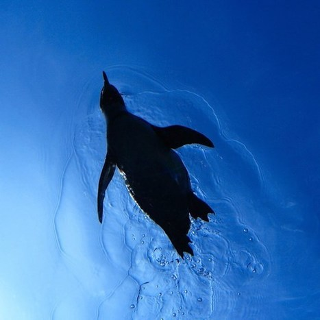 Study: penguins stopped flying to perfect diving ability, save energy ... | scuba dive | Scoop.it