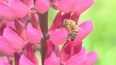 Le déclin de la population d'abeilles inquiète les apiculteurs du Québec | ICI.Radio-Canada.ca | apiculture 2.0 | Scoop.it