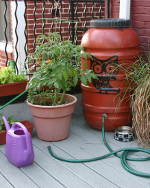 Want to use rain barrel water on your veggies? Research says go for it! | Sustain Our Earth | Scoop.it