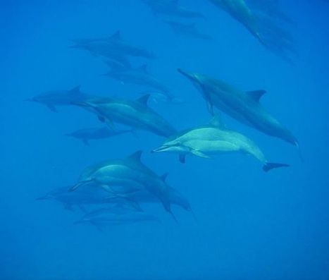 Amazing Dolphin Stampede Captured on Video | OUR OCEANS NEED US | Scoop.it