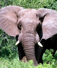 U.S. Move Offers Reprieve to Elephants in Tanzania, Zimbabwe - Wayne Pacelle: A Humane Nation | Research Capacity-Building in Africa | Scoop.it