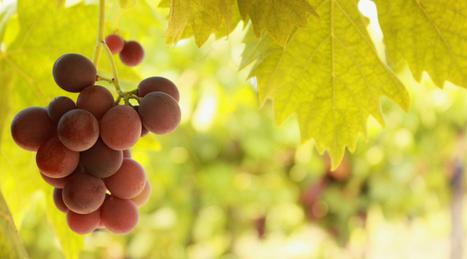 La vinothérapie en cosmétique : les secrets du raisin décortiqués - TopSanté | Cosmétique & Beauté | Scoop.it