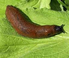 JIC MENTION: UK farmers concerned about Spanish slug invasion | BIOSCIENCE NEWS